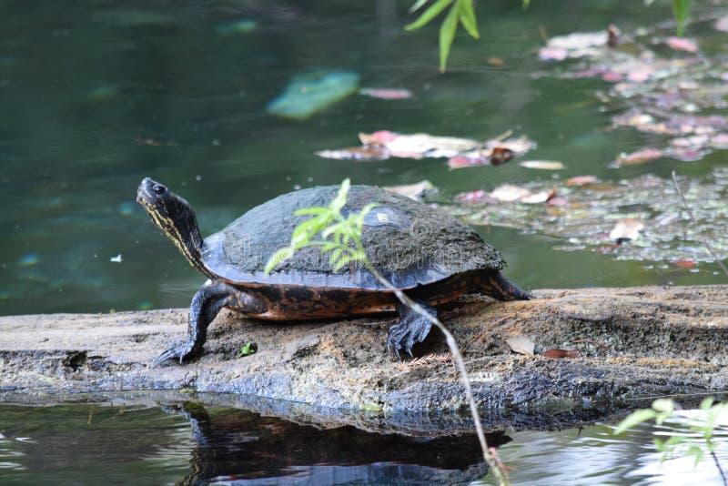 Rio Silver Springs Florida da prata do log da tartaruga do slider foto de stock