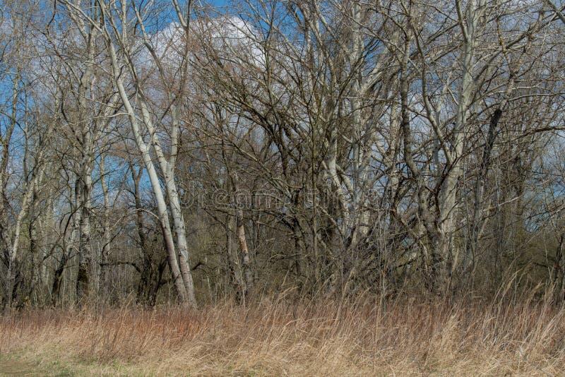 Riparian forest near Vistula river stock photography