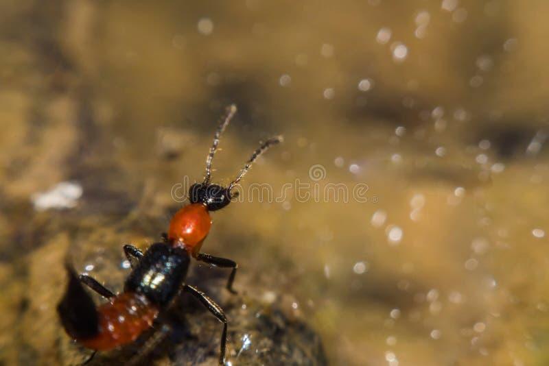 Riparius di Paederus dell'insetto Pederus-dermatite - reazione allergica fotografie stock
