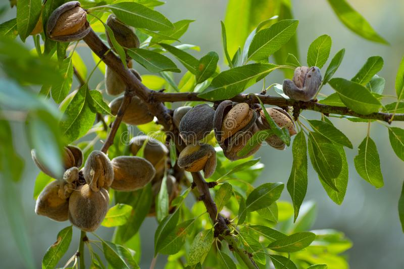 Ripe almond nuts on tree ready for harvest. Close up stock photos
