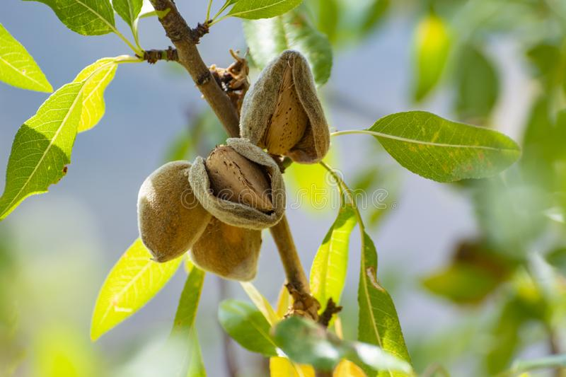 Ripe almonds nuts on almond tree ready to harvest. Close up royalty free stock photos