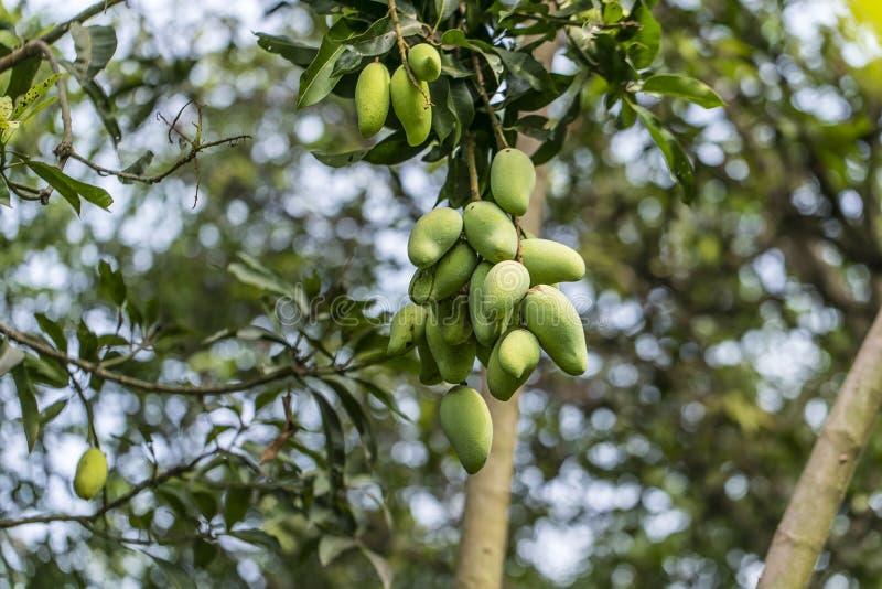 Mangos - King of fruits royalty free stock photography