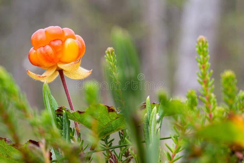 Ripe, appetitoso mirtillo di mirtillo Rubus chamaemorus, in una palude forestale Macro immagine stock libera da diritti