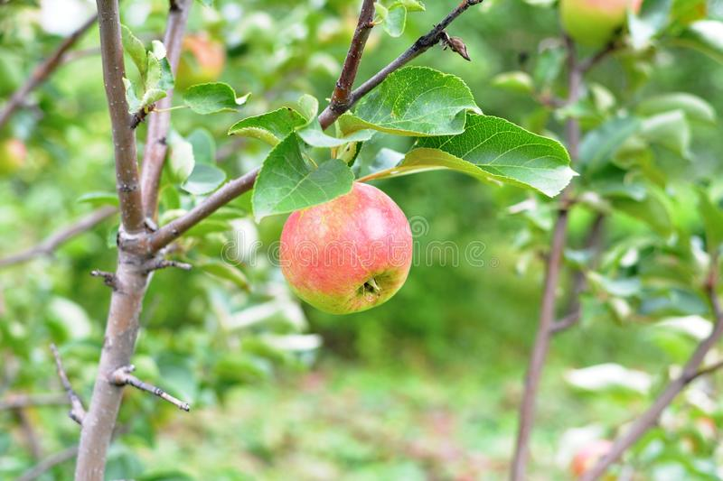 Ripe apple in the autumn garden. Delicious vitamins on the branch. Nice greens royalty free stock photography