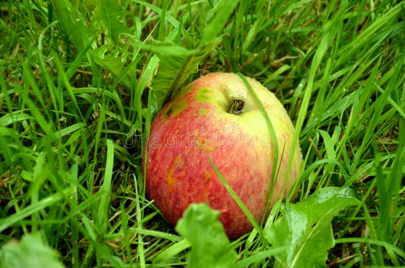 Ripe apple in the autumn garden stock image