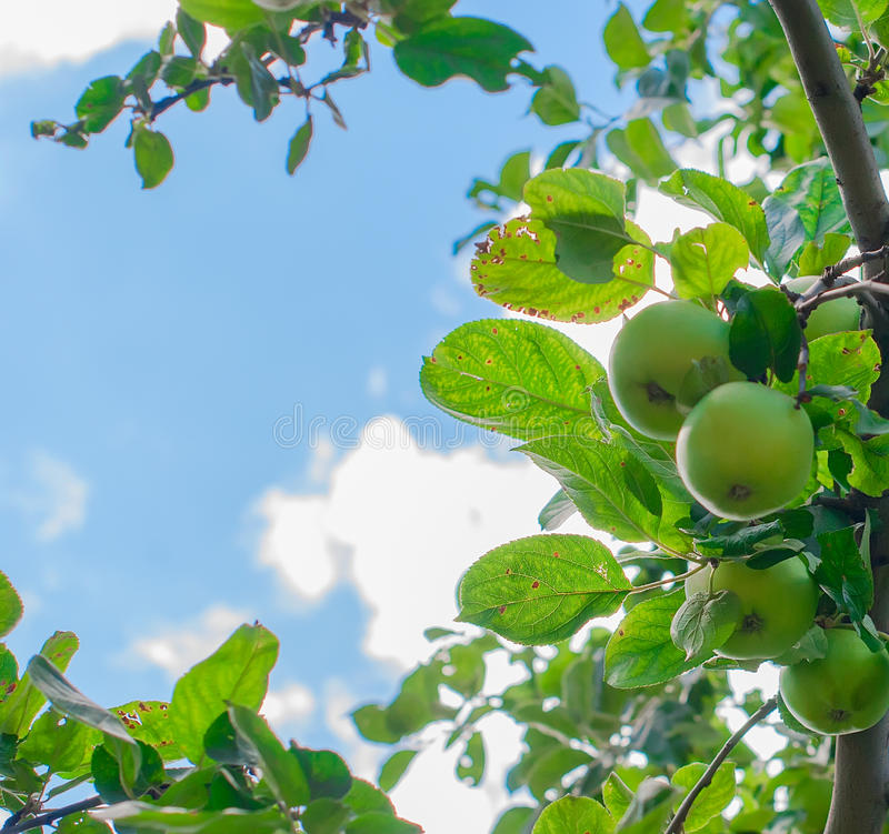 Ripe apple on a branch and sky. Apple tree branch with ripe green apples and sky closeup. toned image, selective focus royalty free stock image