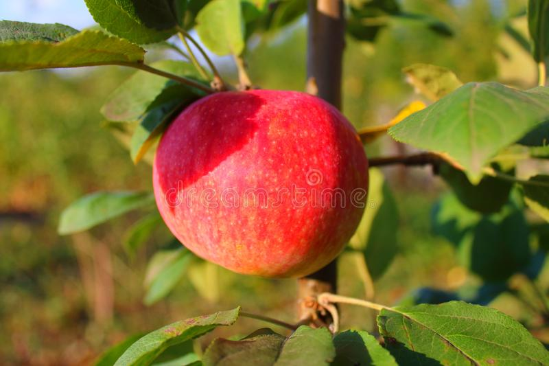 Ripe apple on a tree branch in the rays stock image