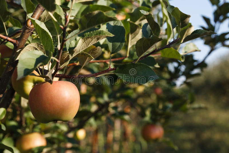Ripe apple on a tree royalty free stock image