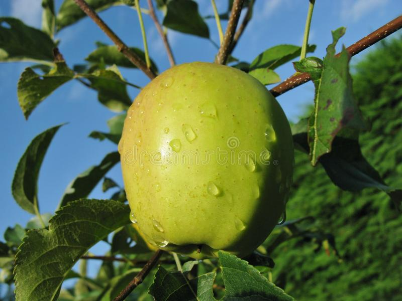 Download A Ripe Apple In A Tree With Water Drops Stock Photo - Image: 38562060