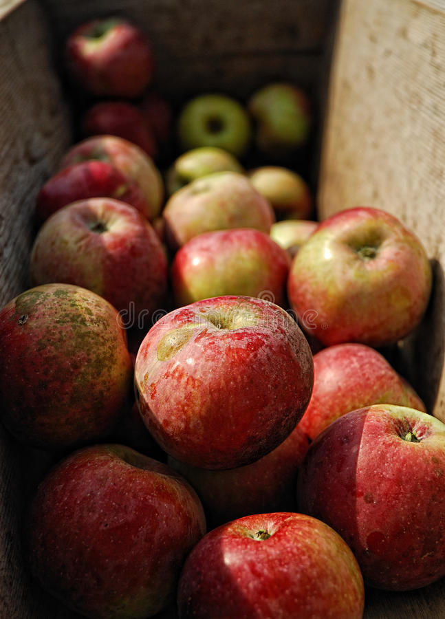 Ripe apples for fresh cider stock photos