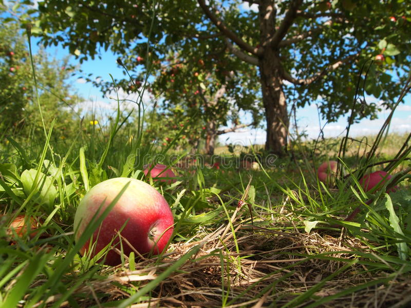 Download Ripe apples in orchard stock photo. Image of nature, field - 22405954