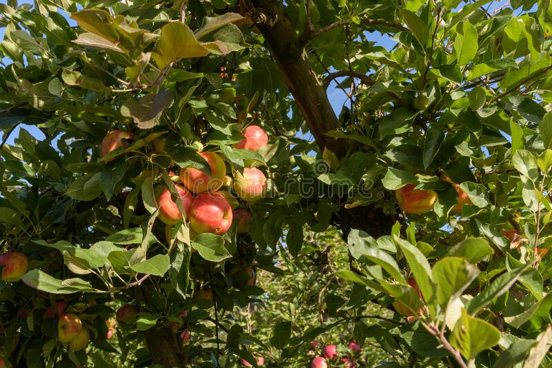 Ripe apples in orchard, ready to be picked royalty free stock image