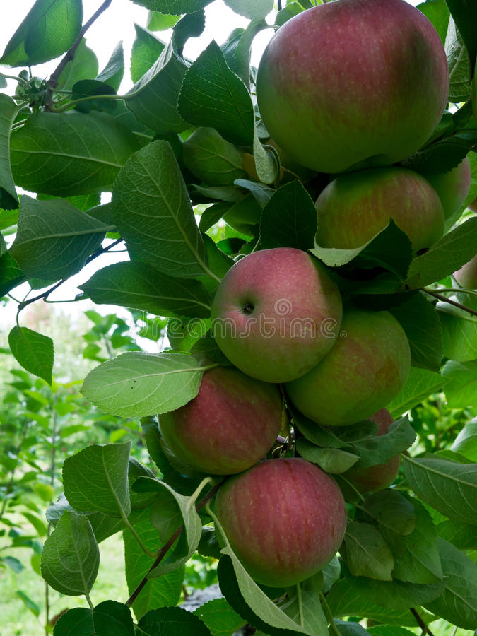 Ripe apples on tree royalty free stock photography