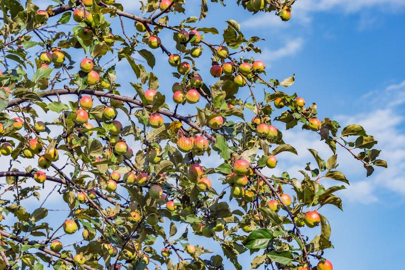 Ripe apples on the tree branches. stock image