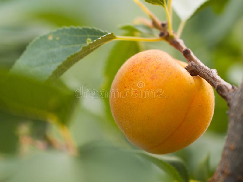 Ripe apricot on branch. Apricot tree, fruits in a garden close up stock photo