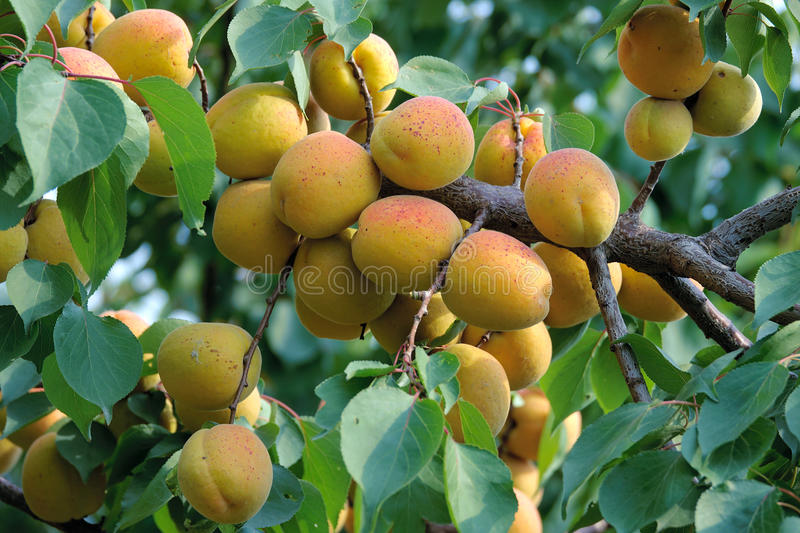 Ripe apricot fruits. The close-up of ripe apricot fruits on branch stock photos