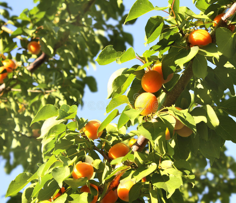 Download Ripe apricots stock photo. Image of ripe, healthy, tree - 25911012