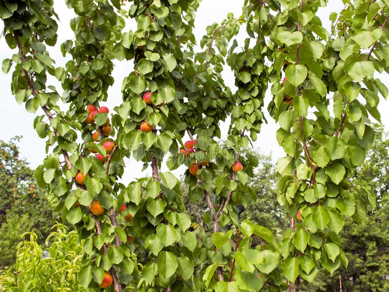 Ripe apricots grow on a tree in the garden. Harvest fruits and berries. Juicy and sweet fruit. Food for a vegetarian royalty free stock images