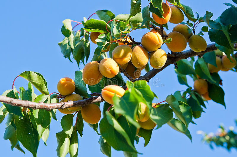 Ripe apricots growing on the apricot tree. Branch of an apricot tree with ripe fruits at the summer time stock image