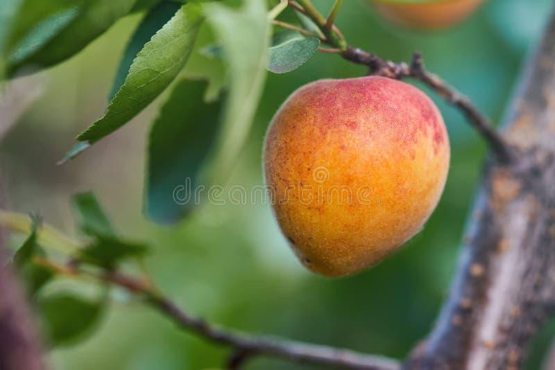 Ripe armenian plums. Prunus armeniaca growing on a tree royalty free stock image