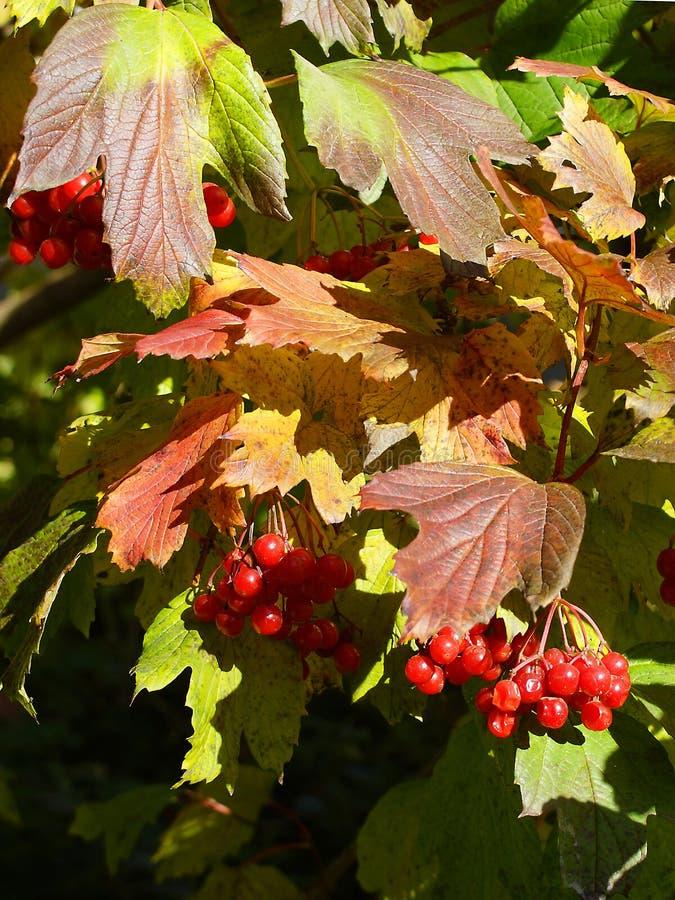 - Ripe arrow wood berries stock images