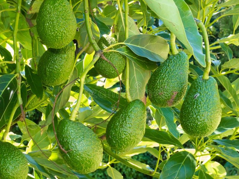 Ripe avocado fruits growing on tree as crop royalty free stock image