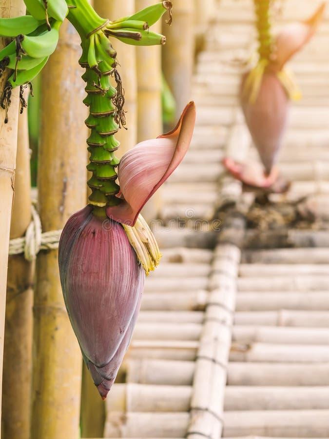 The ripe banana blossom and bananas bunch above the bamboo walkway stock photo