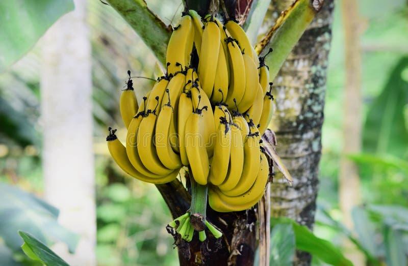 Ripe bananas on the tree, ripe bananas in the garden royalty free stock photos