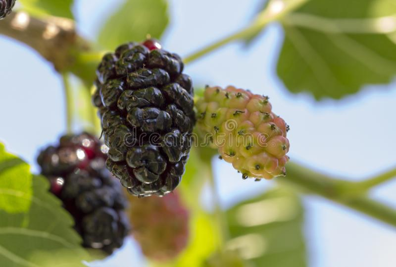 Ripe mulberry berry on a tree branch close-up. Ripe beautiful mulberry berry on a tree branch close-up royalty free stock photos