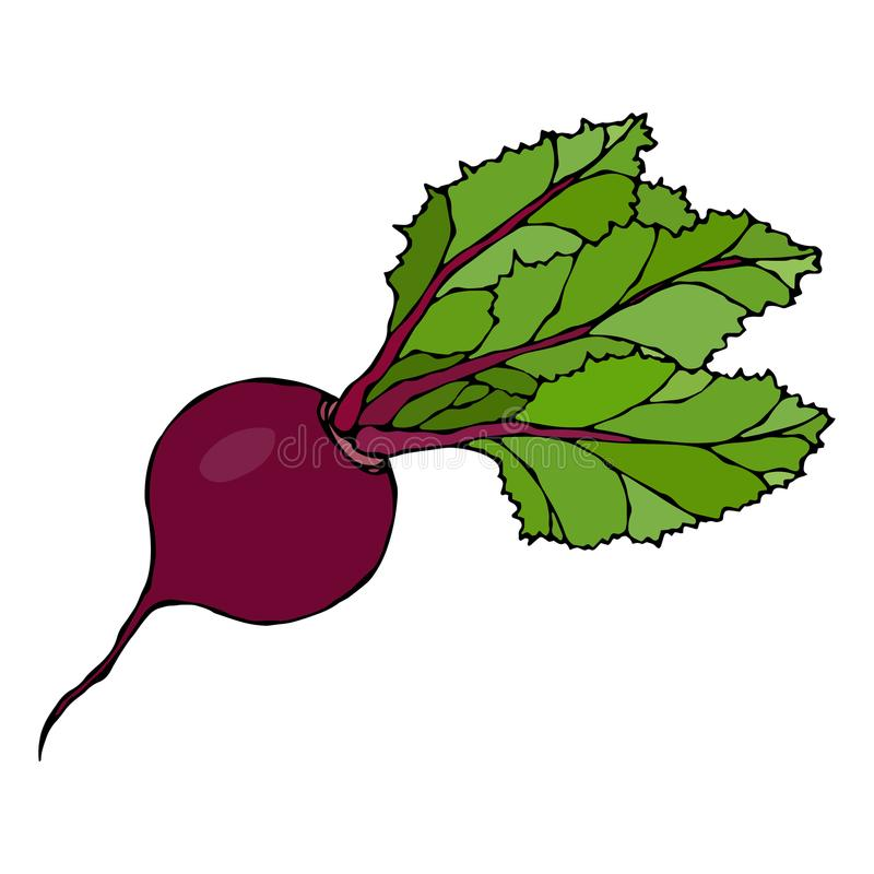 Ripe Beet. Beetroot with Top Leaves. Fresh Vegetable Salad. Hand Drawn Vector Illustration. Savoyar Doodle Style. Ripe Beet. Beetroot with Top Leaves. Fresh vector illustration
