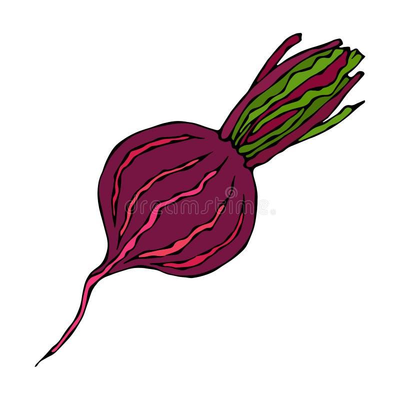 Ripe Beet - Half of Beetroot, Cut Beet Slices. Fresh Vegetable Salad. Hand Drawn Vector Illustration. Savoyar Doodle Style. Ripe Beet - Half of Beetroot, Cut stock illustration
