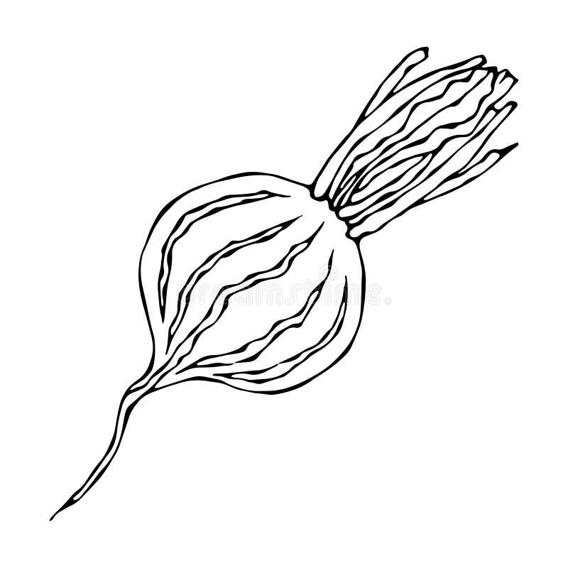 Ripe Beet - Half of Beetroot, Cut Beet Slices. Fresh Vegetable Salad. Hand Drawn Vector Illustration. Savoyar Doodle Style. Ripe Beet - Half of Beetroot, Cut vector illustration