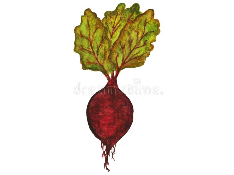 Ripe beetroot with leaves. On white background royalty free illustration