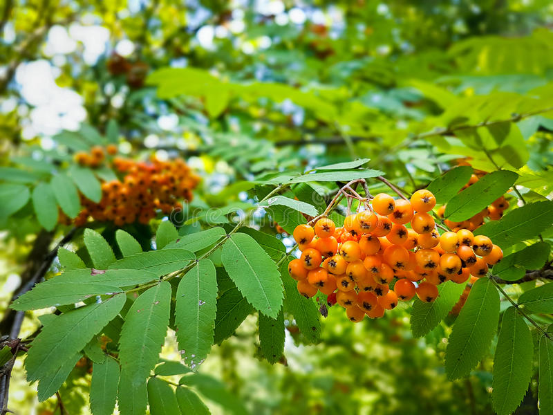 Ripe berries on an ash tree royalty free stock photo
