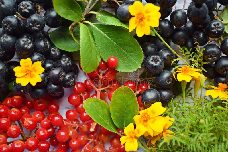 Ripe berries of black chokeberry and red viburnum. stock photos