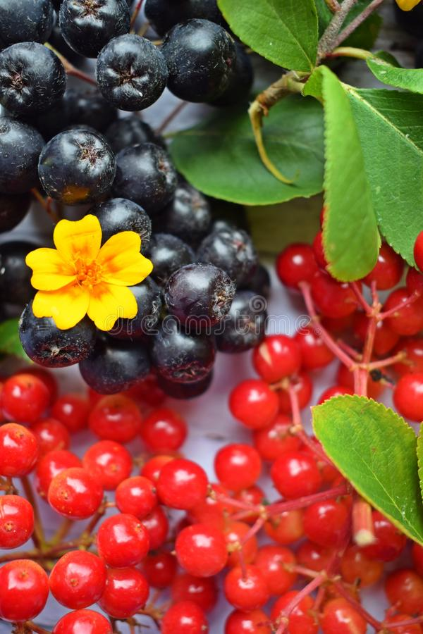 Ripe berries of black chokeberry and red viburnum. royalty free stock image