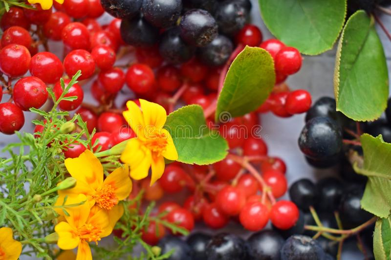 Ripe berries of black chokeberry and red viburnum. royalty free stock images