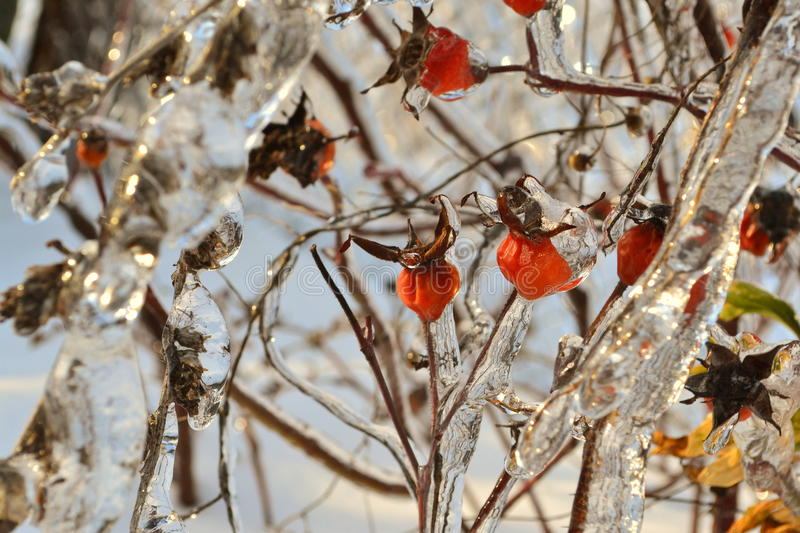 Ripe BERRIES of a dogrose have iced over. royalty free stock photo