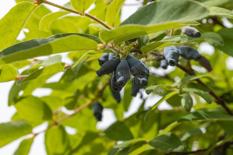 Ripe berries of the edible honeysuckle Lonicera on a branch on a background of green leaves. close up stock photo