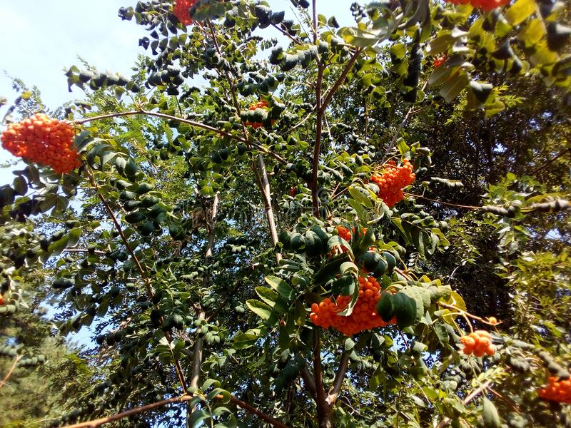 Ripe berries of mountain ash on the branches of fruit tree. Early autumn, ripening fruit, the leaves begin to turn yellow. The best time is the velvet season stock images
