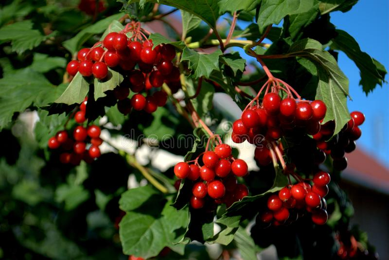 Ripe berries of red viburnum hang on the branches in the rays of the evening sun. stock images