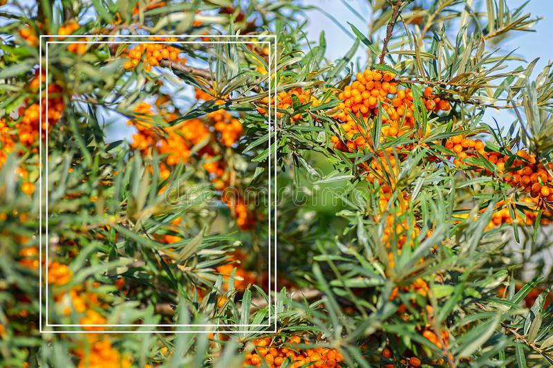 Ripe berries of sea buckthorn on a background of blue sky. White frame stock photography