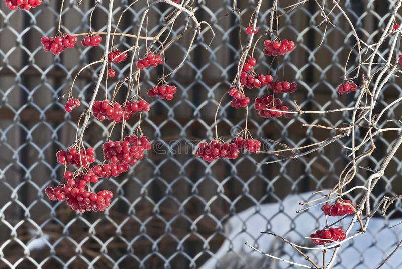 Ripe berries of a viburnum lit by the sun on branches without leaves royalty free stock photos