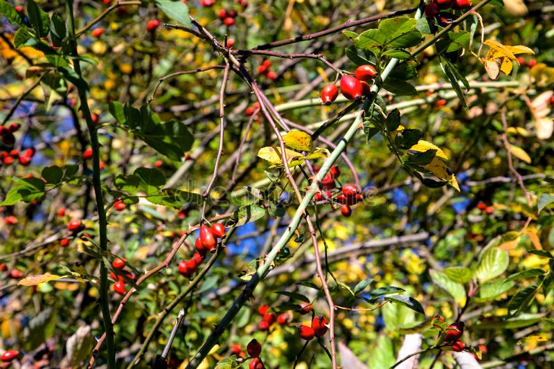 Ripe berries of wild rose stock photography