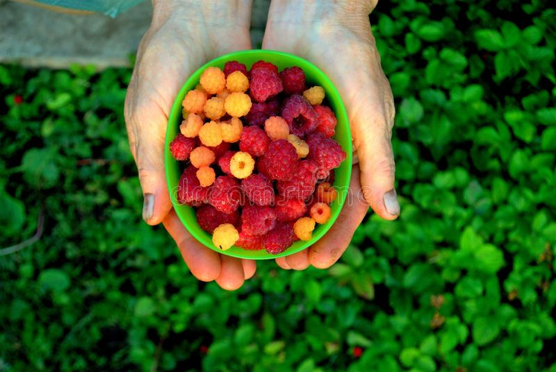 Ripe berries of yellow and red raspberries lie in a cup in female palms on a background of summer greens. stock image