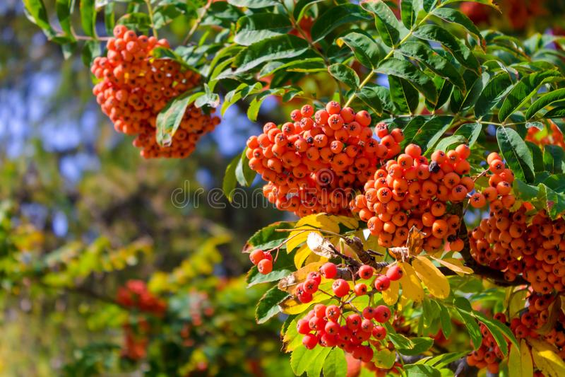 Ripe berry ashberry bright orange. Red ripe mountain ash on a tree on a bright, sunny day hanging from branches with large bunches of berries royalty free stock photography