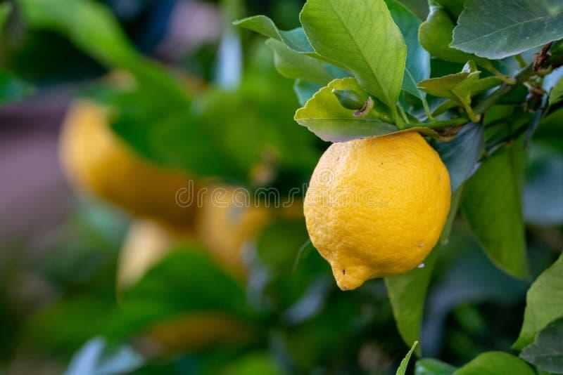 Ripe big yellow lemon citrus tropical fruit hanging on lemon tree royalty free stock photos