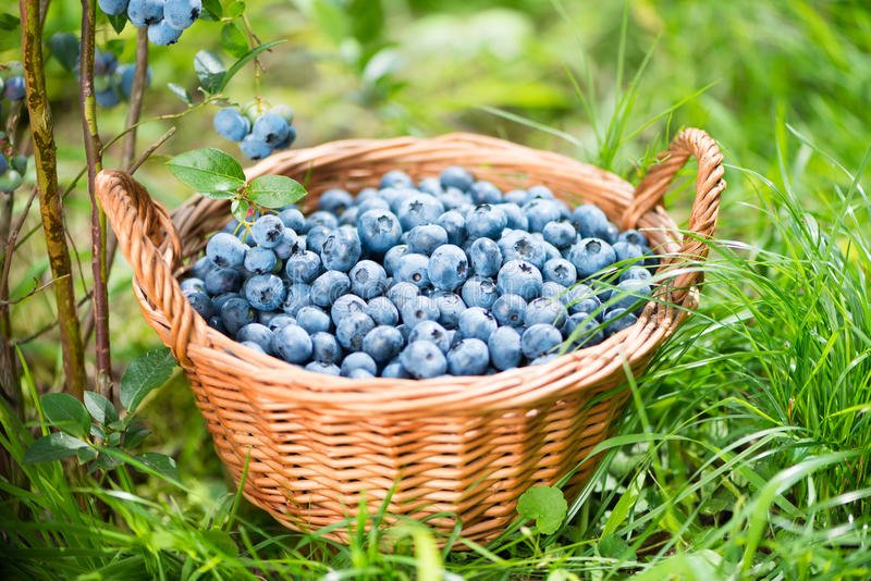Blueberry basket. Ripe Bilberries in wicker basket. royalty free stock image