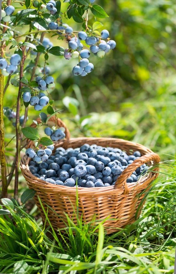 Ripe Bilberries in wicker basket. Green grass and blueberry bush stock photo