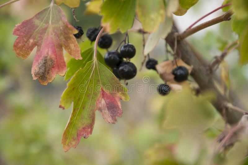 Ripe black currant berries are growing in the garden. Early autumn.  stock photography